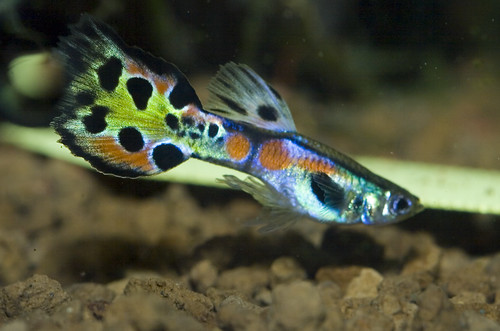 Guppy x for Endler guppy