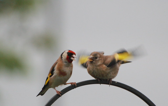 Feed me 9. | Baby goldfinch getting fed. | By: 4652 Paces ...