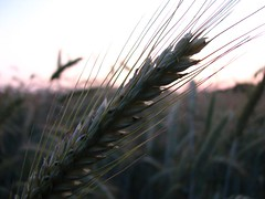 hordeum, field, leaf, barley, wheat, sunlight, nature, macro photography, close-up, crop,