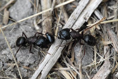 Head Count_Black Carpenter Ants (Camponotus pennsylvanicus) DSC_0345.JPG