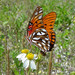 Small photo of Agraulis vanillae, Gulf Fritillary, Osceola County