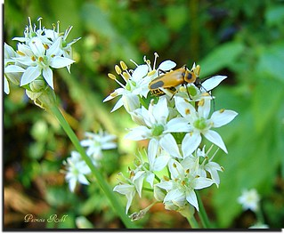 Buggie Garlic Chive Flowers!
