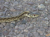 "<a href=""http://www.flickr.com/photos/jroldenettel/859321247/"">Photo of Thamnophis marcianus by Jerry Oldenettel</a>"