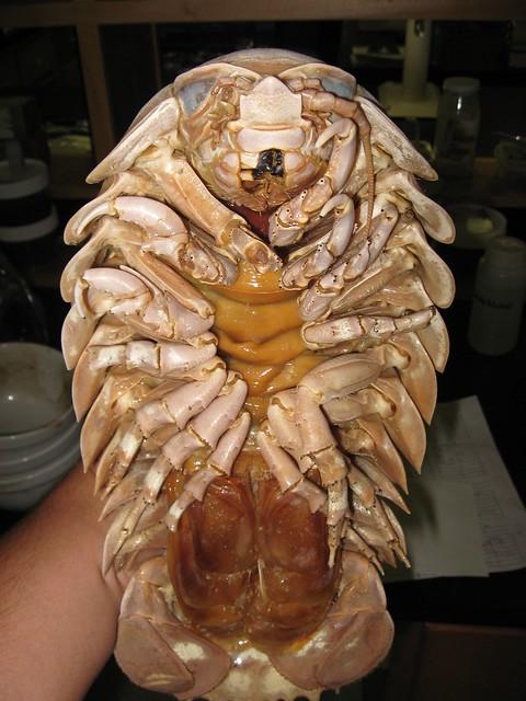 Giant Isopod  Ba...Blue Lobster Pet
