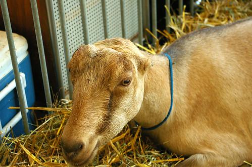 raise goats