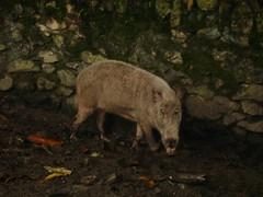 animal(1.0), peccary(1.0), wild boar(1.0), pig(1.0), fauna(1.0), pig-like mammal(1.0), wildlife(1.0),