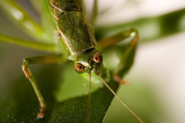 Cross-eyed Katydid