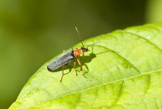 Soldier Beetle - Podabrus species