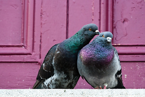 love birds affection pigeon cuddling
