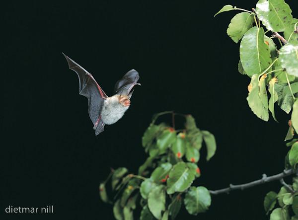 001500Bechsteinfledermaus im Flug, Myotis bechsteinii, Bechstein's bat in flight, vespertilion de Bechstein