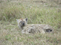 A sleepy hyena