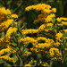 Canada Goldenrod - Photo (c) Steve Chilton, some rights reserved (CC BY-NC-ND)