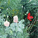 Mom's Poppies / Äidin unikot, 1998