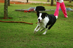 dog sports, animal sports, border collie, animal, dog, pet, mammal,