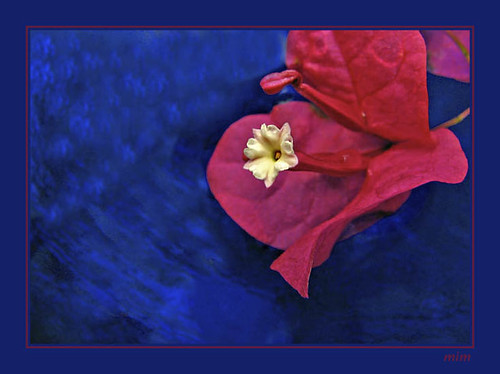 bougainvillea in blue bowl