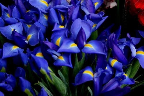 Blue Irises on Geary Street