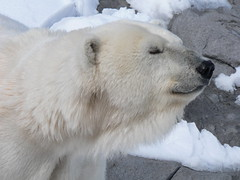 hokkaido(0.0), greenland dog(0.0), animal(1.0), arctic(1.0), polar bear(1.0), polar bear(1.0), mammal(1.0), bear(1.0),