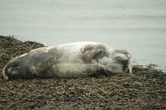 Grumpy Auld Sea Dog7