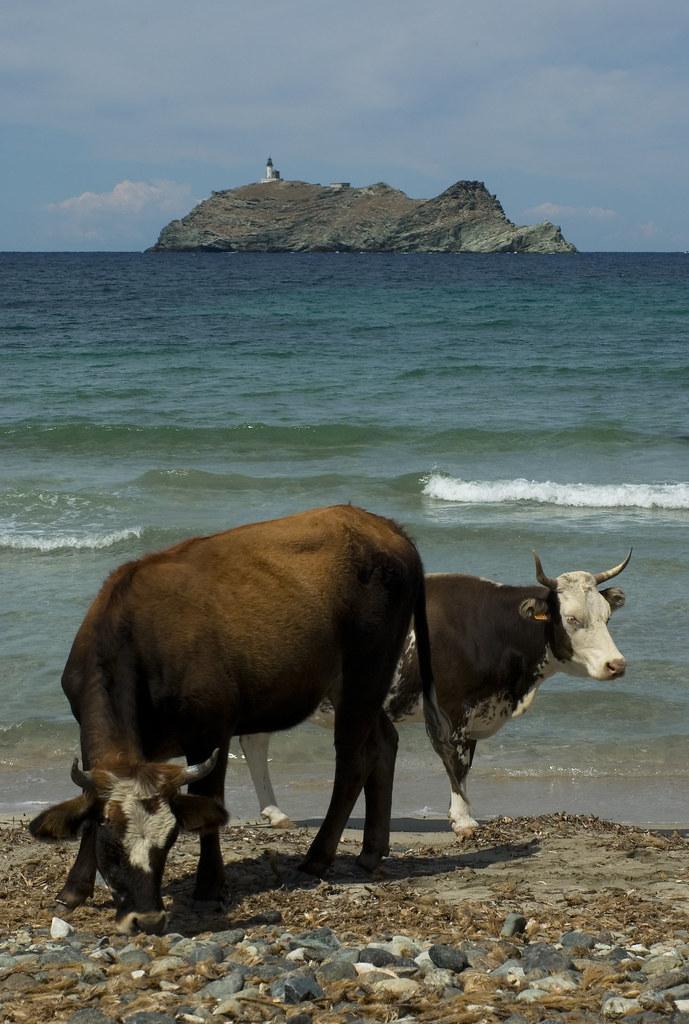 Cowbeach