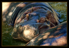 Sleeping Hippopotamus From Top To Bottomus