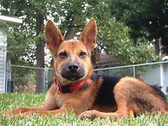 belgian shepherd malinois(0.0), dog breed(1.0), german shepherd dog(1.0), animal(1.0), dog(1.0), carolina dog(1.0), pet(1.0), mammal(1.0),