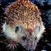 Mr. Hedgehog / Herr Igel