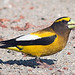 Evening Grosbeak - Photo (c) Doug Greenberg, some rights reserved (CC BY-NC-ND)