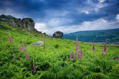 ilkley foxgloves