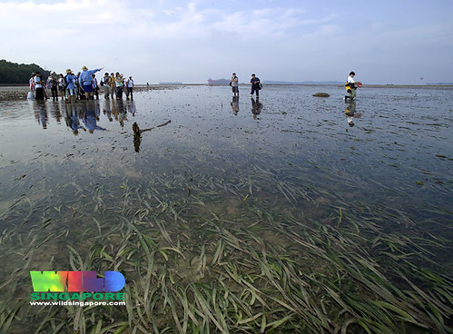 TeamSeagrass at Semakau's vast seagrass meadows