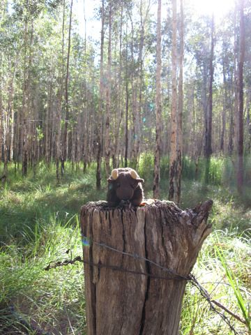 Buddy was keen to look over a newly donated addition to Bongil Bongil National Park in Australia.  The former dairy pastures naturally regenerated over the past 15 years to form coastal melaleuca swamp forest near the town of Coffs Harbour.