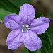 Carolina Wild Petunia - Photo (c) cotinis, some rights reserved (CC BY-NC-SA)