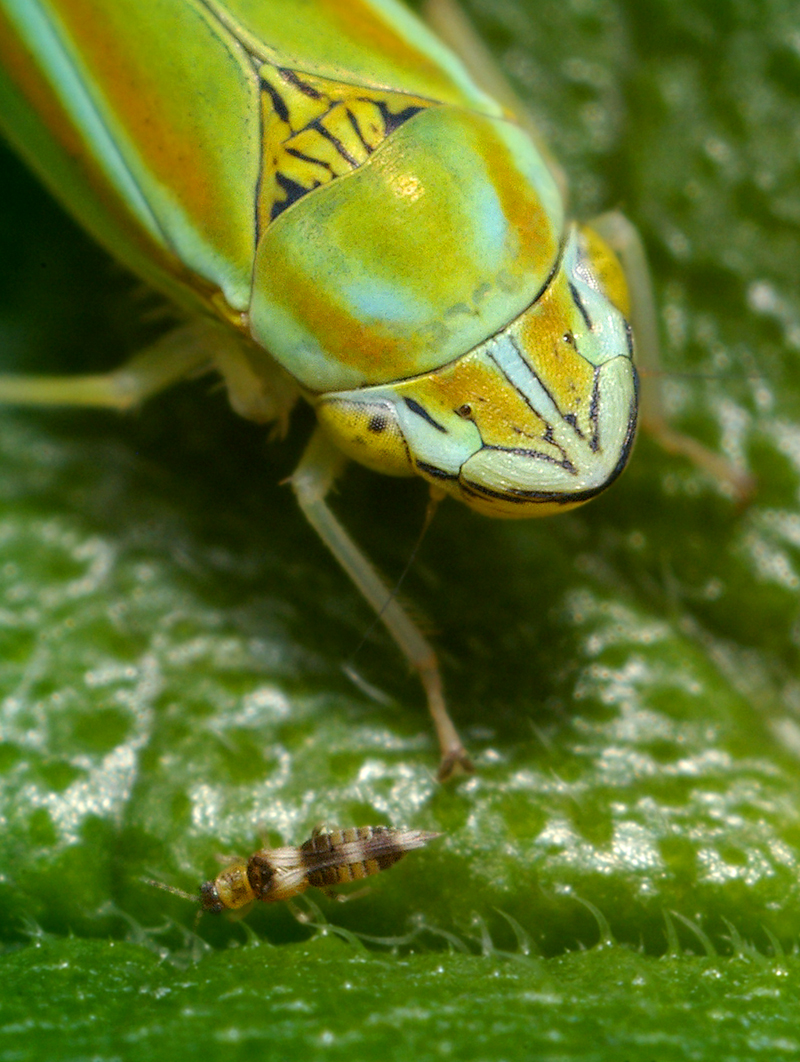 Leaf Hopper (Graphocephala versuta)  with Tiny Bug