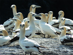 animal, water bird, fauna, gannet, beak, bird, seabird, wildlife,