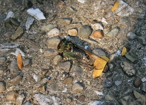 """Dog day"" Cicada, Tibicen sp."
