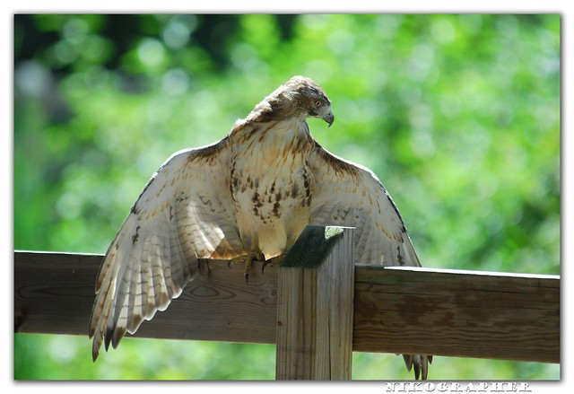 Sunning Red-Tailed Hawk