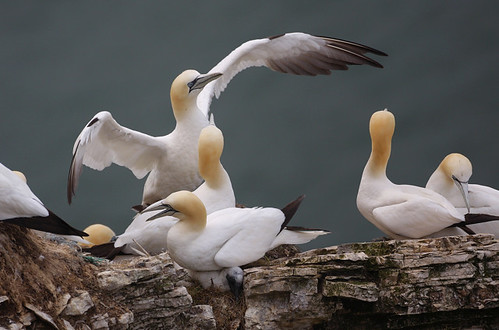 Northern Gannet - MG_8888 by nigel pye