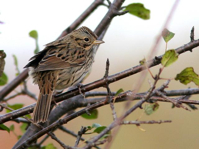 Lincolns Sparrow 20101029