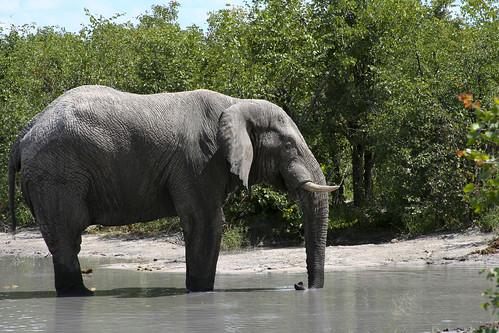 161 - Elephant