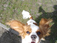 dog breed(1.0), animal(1.0), dog(1.0), mammal(1.0), king charles spaniel(1.0), phalã¨ne(1.0), cavalier king charles spaniel(1.0), papillon(1.0),