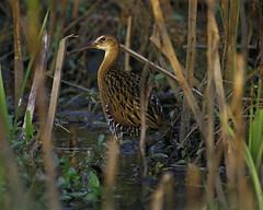 wetland, animal, prairie, fauna, bittern, shorebird, beak, bird, wildlife,