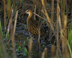 heron(0.0), snipe(0.0), wetland(1.0), animal(1.0), prairie(1.0), fauna(1.0), bittern(1.0), shorebird(1.0), beak(1.0), bird(1.0), wildlife(1.0),