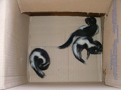 drawing(0.0), cat(0.0), skunk(1.0), pet(1.0),