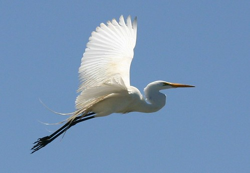 Great Egret Flying  great_egret_flying_north_morro_bay_6_5_04_HIRES_by_mike_ba