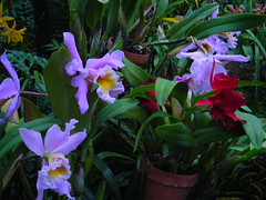 gladiolus(0.0), cattleya labiata(1.0), flower(1.0), plant(1.0), laelia(1.0), cattleya(1.0), flora(1.0), cattleya trianae(1.0), dendrobium(1.0),