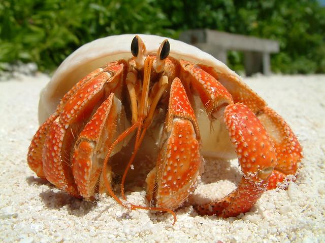 Blue Land Hermit Crab Strawberry Land Hermit Crab