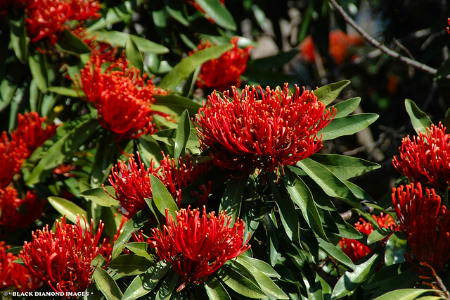Alloxylon flammeum - Tree Waratah