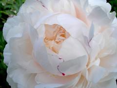 2007 牡丹花 Herbaceous Peonies