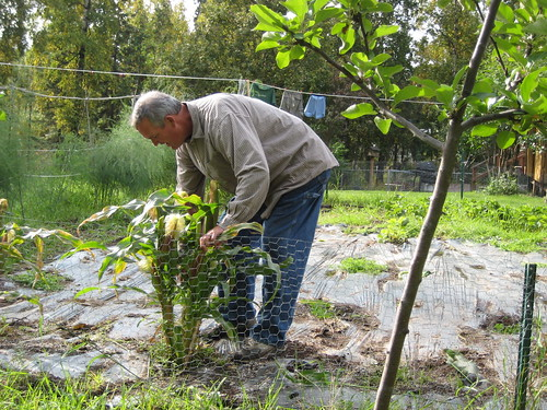 Bob harvesting the corn
