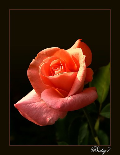 Rose for all friends