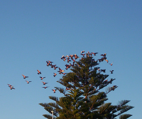 Galahs in flight
